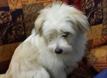 كلب فرنسيه جميله ولعوبه عمره 7 شهور وأنثى