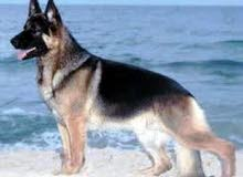 كلب chien