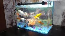 حوض سمك كامل معه المستلزمات و زوج سمك كولد السعر 35 الف