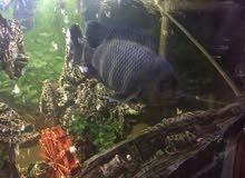 سمكة التايجر للبيع