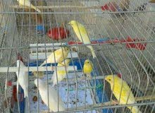 جميع انواع طيور الزينه وطيور الصيد باسعار جملة الجمله