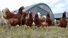 للبيع دجاج الأحمر للبيض
