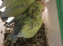 طيور روز