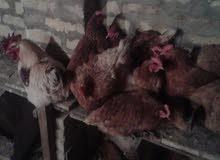 بيض دجاج احمر بياض مخصب