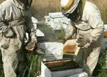 عسل طبيعي 100٪ مضمون قطف الربيع