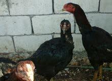 دجاج بكستني الماني