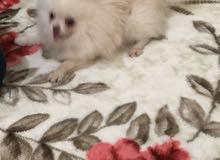 كلب من نوع بامورينين توي عمره تسع أشهر