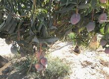 مزرعة 20 فدان للبيع مزرعة زيتون وجوافة