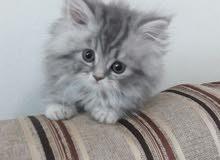 قطة شهرين شيرازي للبيع
