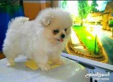 انثى كلب بومريان العمر شهرين