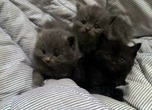 سلام عليكم قطط للبيع العمر شهرين ونص تقريبا