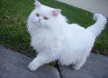 للبيع قط شيرازي أمريكي أبيض أليييف جداً