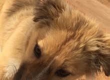 كلب لبيع اليف لتواصل وتساب