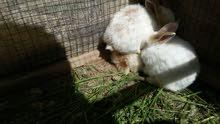 افراخ ارانب شاميات للبيع