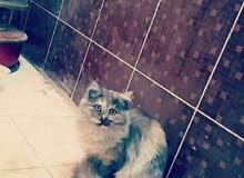 قطط شيرازيات