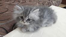 قطة شهرين للبيع