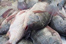 سمك حي للبيع