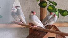 زوج طيور حب وجاوا