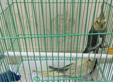 زوج طيور الكروان