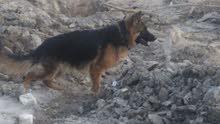 كلبه جيرمن العمر 7 اشهر