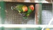 وصول وجبة من الطيور الحسون وكوكتيل وغندورة و روزلة وطيور الحب البصرة سوق 50 حوش