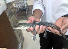 للبيع تمساح صغير