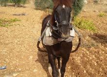 حصان اربع سنوات