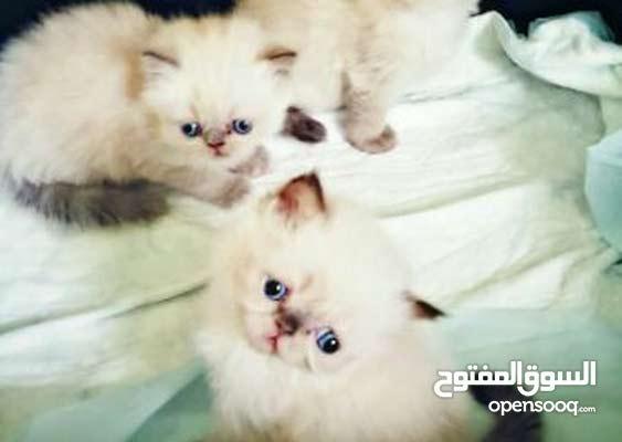 قطط هملايا للبيع العمر شهرين  0f46135f9d02541076c15833.jpg