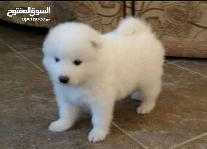كلب ساامويد